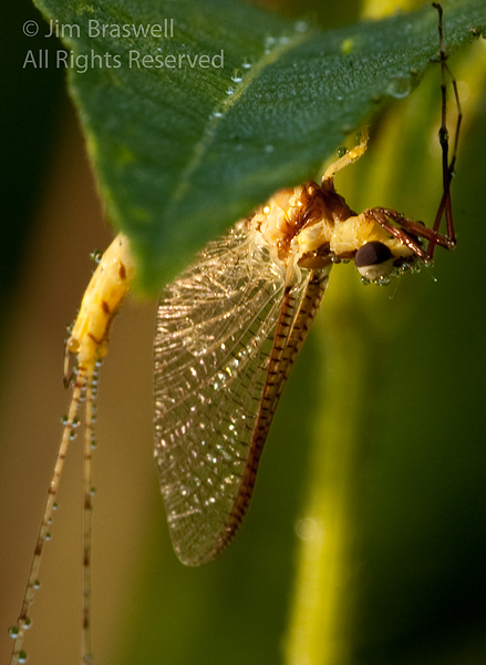Mayfly with heavy dewdrops (enlarged)