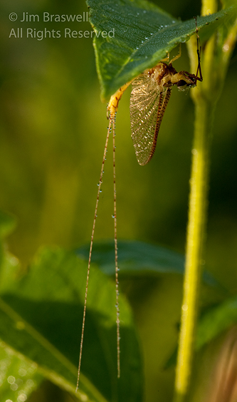 Mayfly with heavy dewdrops
