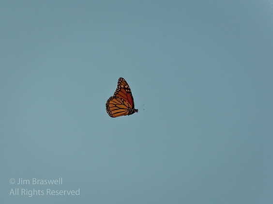 Monarch Butterfly in flight above the meadow