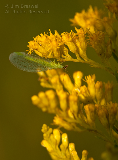 Green Lacewing on Goldenrod plant
