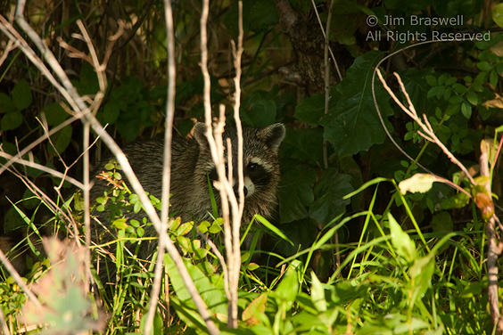 "Raccoon ""hiding"" behind twigs"