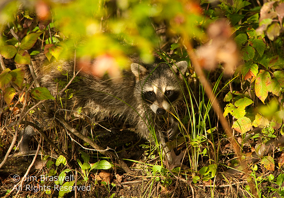 Raccoon along water's edge