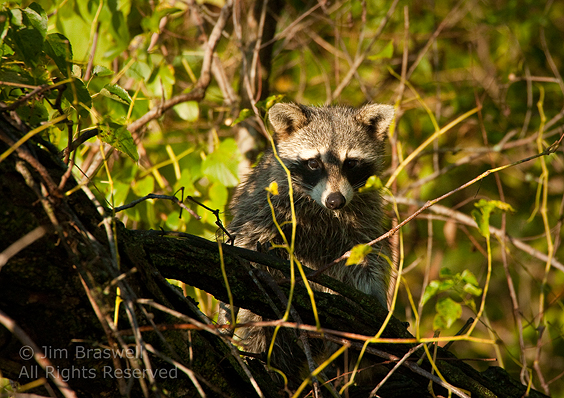 Raccoon watching me from atop a downed tree