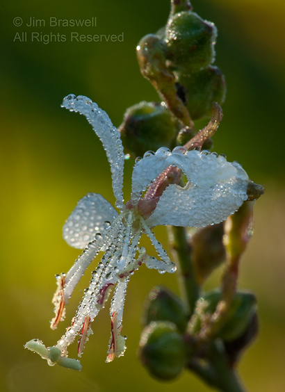 Gaura wildflower, covered with dew