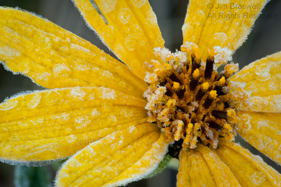 Sunflower Covered with frost in the fall