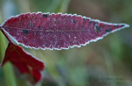 Smooth Sumac covered with frost in fall