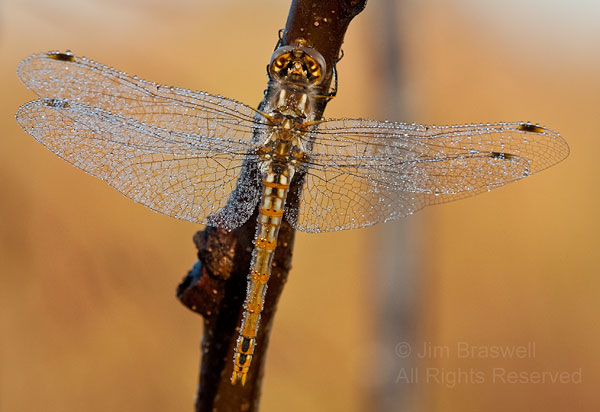 Frosted Dragonfly
