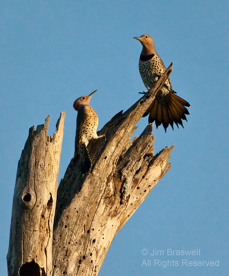 Northern Flicker displaying to another