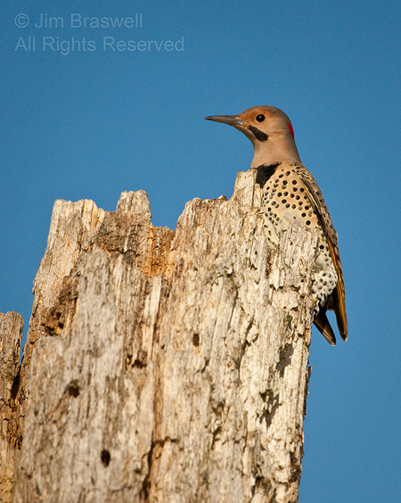 Northern Flicker close-up