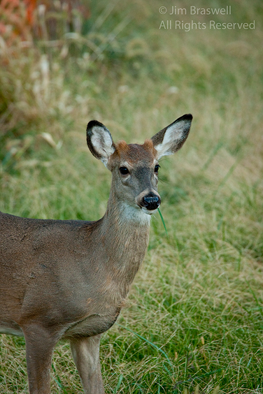 Juvenile White-tailed Deer buck