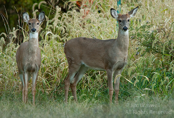 Juvenile White-tailed Deer