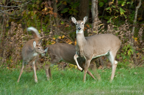 White-tailed Deer doe with 2 juveniles