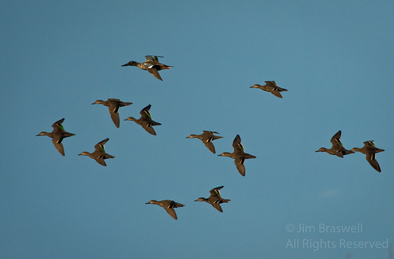 Green-winged Teal flying in