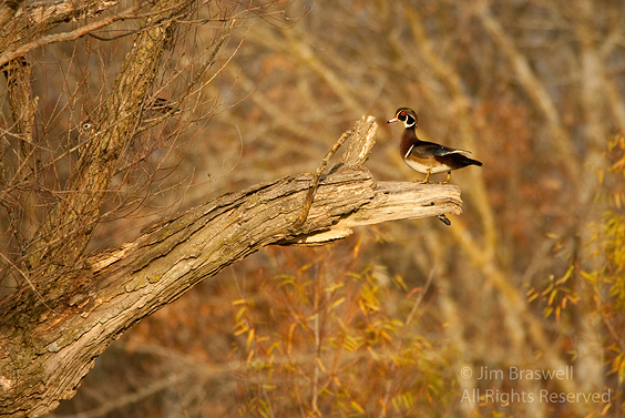 Wood Duck pair in tree
