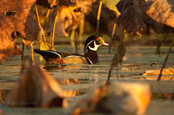 Wood Duck drake in fall colors