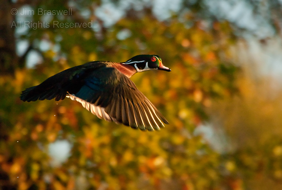 Wood Duck drake flying in fall colors