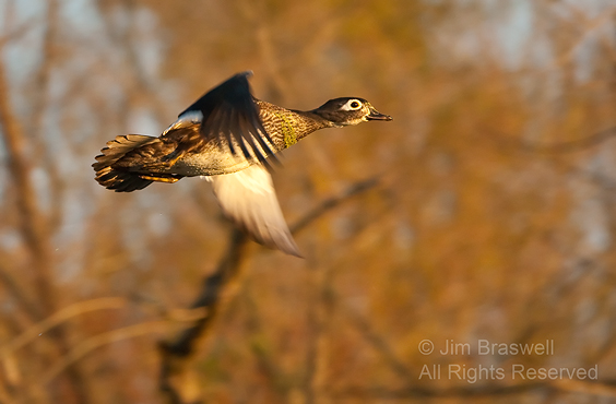 Wood Duck hen flying in fall colors
