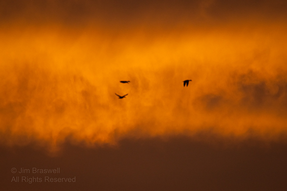 Wood Ducks flying in sunrise