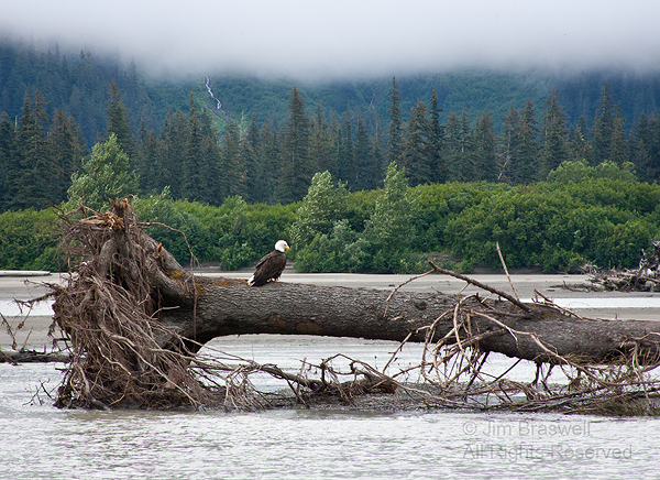 Bald Eagle sitting on tree in the Stikine River, Alaska