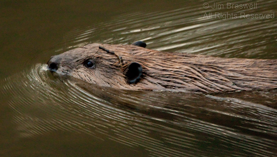 Close-up of Beaver swimming
