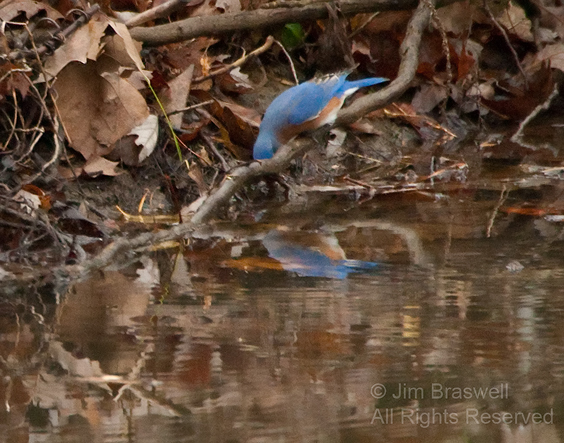 Eastern Bluebird admiring himself in the creek