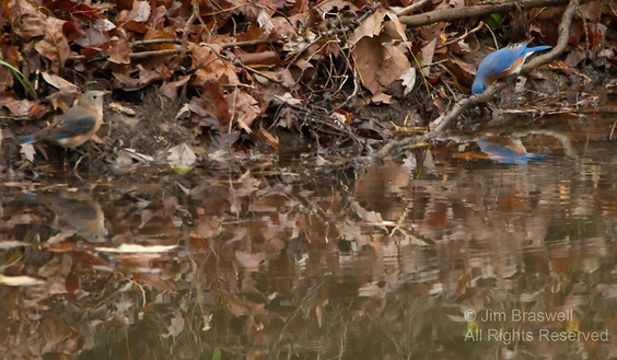 Eastern Bluebird pair, male admiring himself in water