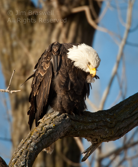 Bald Eagle with feather in his beak