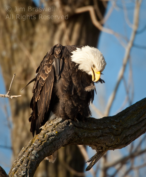 Bald Eagle pulls feather out of his chest