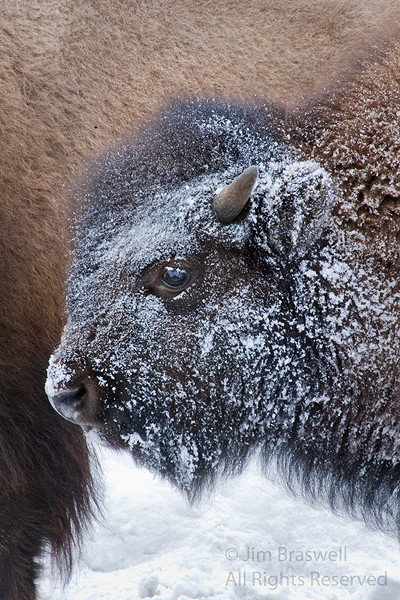 Bison calf with snow on face