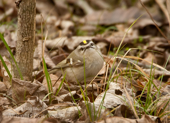 Golden-crowned Kinglet on the ground