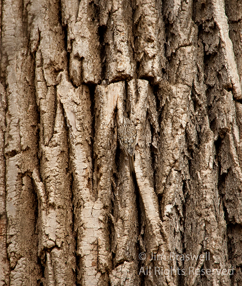 Brown Creeper camouflaged against tree trunk