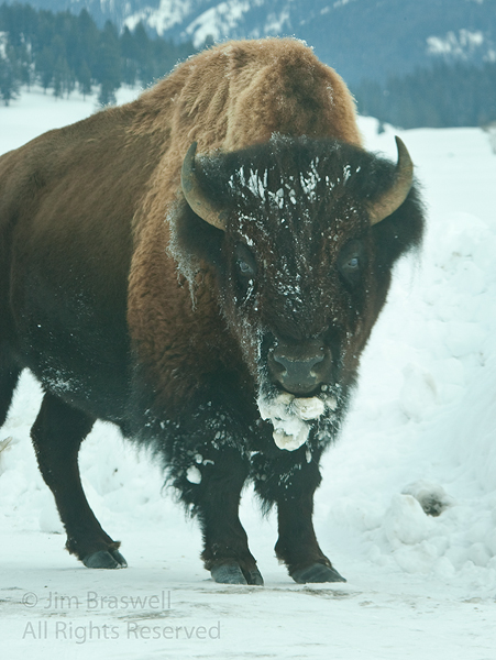 Bison with snow & ice on face