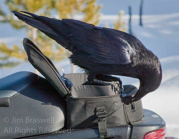 Raven invading snowmobile pouch