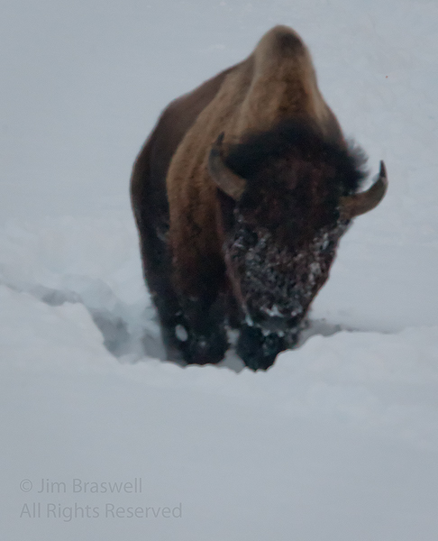 Yellowstone Bison in deep snow