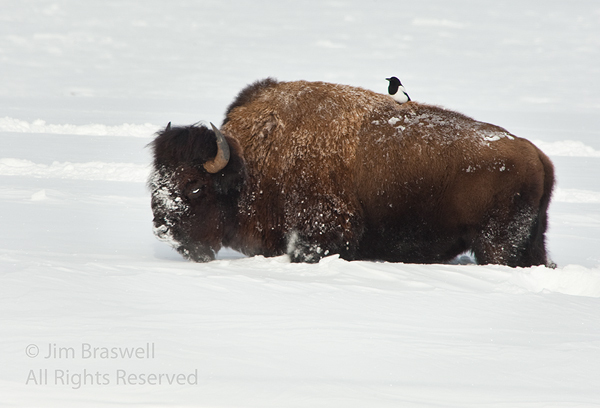 American Bison with Magpie on it's back