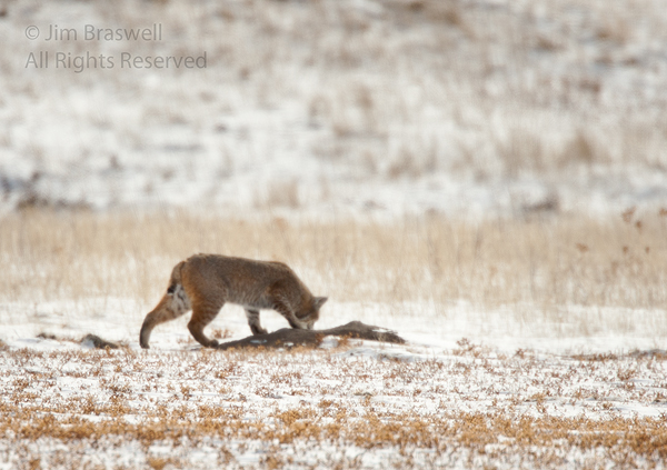 More Bobcat from the Badlands
