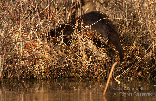 Northern River Otter on the bank, gathering nest materials