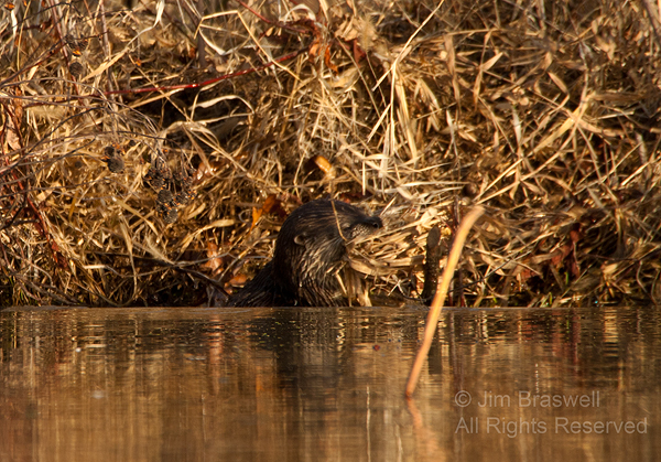 Northern River Otter entering water with nesting materials