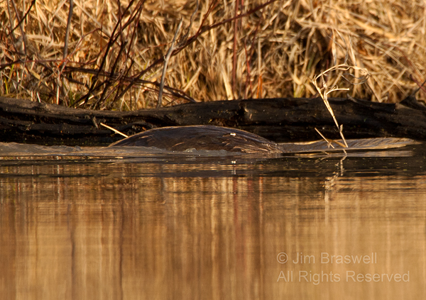 Northern River Otter dives with nesting materials