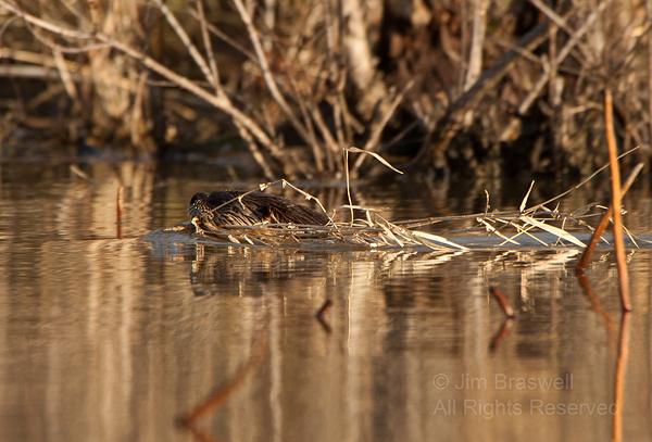 Northern River Otter swimming with nesting materials