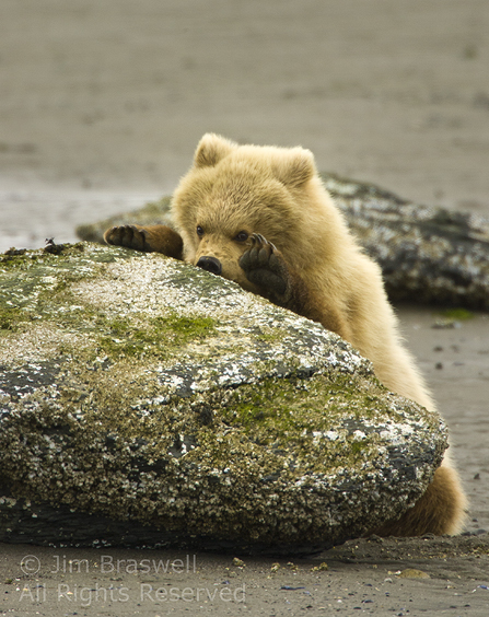 Brown Bear cub eating barnacles from rock at lowtide