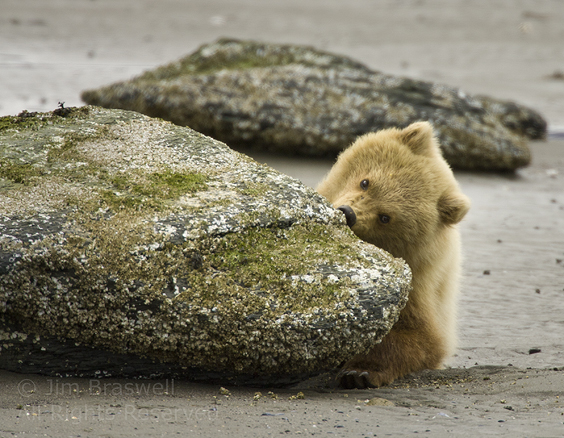 Brown Bear cub eating barnacles from rock at low tide