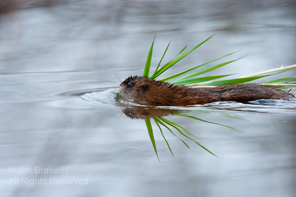 Muskrat with nesting material