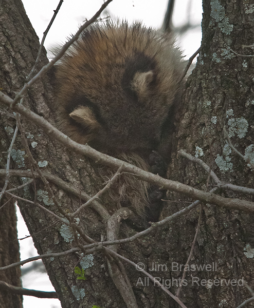 Young Raccoon sleeping in fork of tree