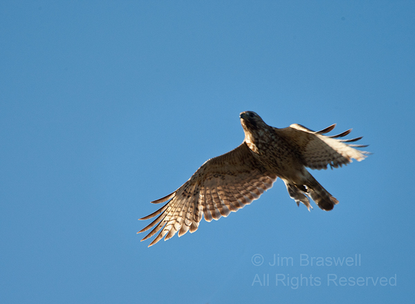 Hawk chased by a Swallow