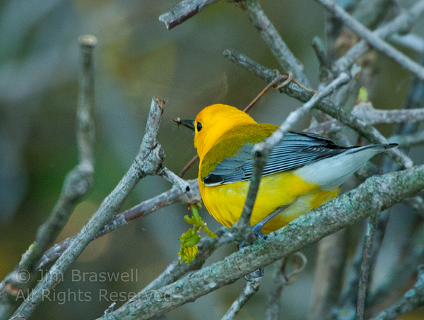 Prothonotary Warbler with insect