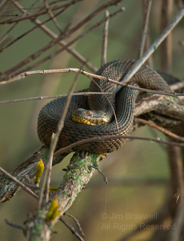Diamondback Water Snake in tree