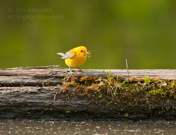 Prothonotary Warbler with nesting materials