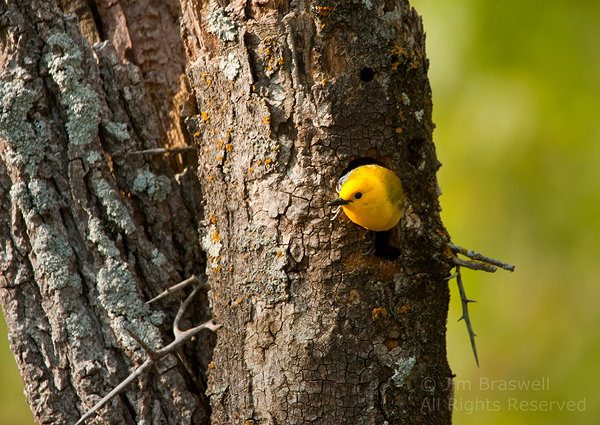 Prothonotary Warbler exiting tree cavity