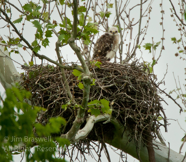 Baby Red-tailed Hawks in nest